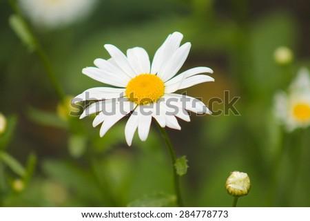 Chamomile close-up. White daisy flowers.White daisies.