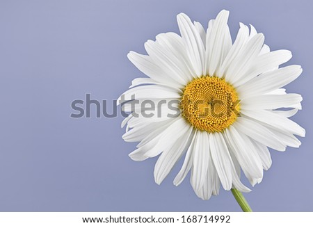 Chamomile closeup on a colored background