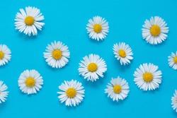 Chamomile daisy flowers on blue background. Summer background.