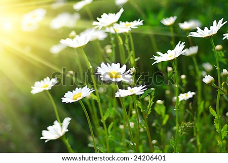 Chamomile field and the sun i background