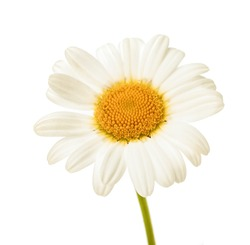 chamomile flower beautiful and delicate on white background