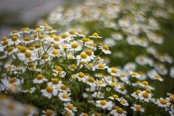 Chamomile flower field. Camomile in the nature. Field of camomiles at sunny day at nature. Camomile daisy flowers in spring day. Chamomile flowers field wide background in sun light