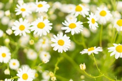 Chamomile flower field. Camomile in the nature. Field of camomiles at sunny day at nature. Camomile daisy flowers in summer day. Chamomile flowers field wide background in sun light