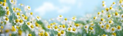 Chamomile flower field,Chamomile in the nature