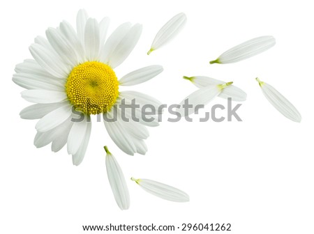 Chamomile flower flying petals, guess on daisy, isolated on white background as poster design element