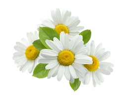 Chamomile flower group leaves isolated on white background as package design element