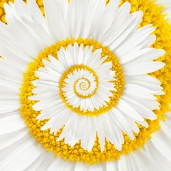 chamomile flower infinity spiral abstract background