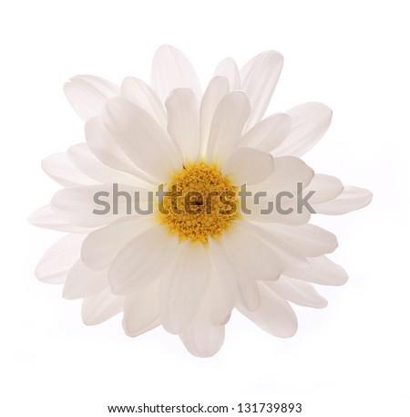 chamomile flower isolated on white background