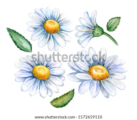 Chamomile flower, top view. A flower of a chamomile with leaves. Chamomile bud. Template. Watercolor illustration isolated on whitebackground. Hand painted.
