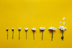 Chamomile flowering stages. White daisies on a illuminating yellow background. Backdrop with copy space. Top view. Minimalism creative concept.