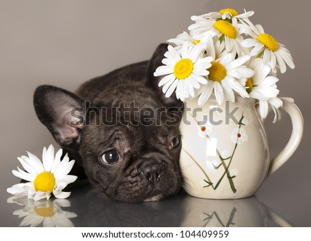 chamomile flowers and French bulldog puppy