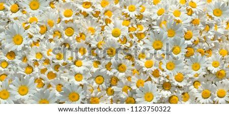 Chamomile flowers. Chamomile background.