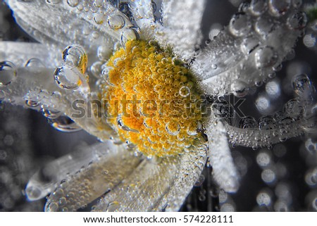 chamomile flowers close up in...