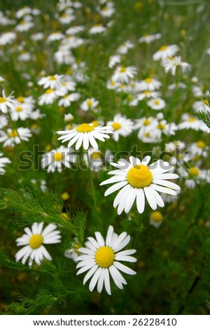 Chamomile flowers on a fresh field