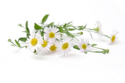 Chamomile garden / white flowers of German chamomile daisy.
