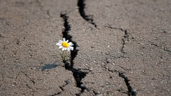 chamomile in cracks of asphalt road.   environmental threat, protection of wild nature. climate crisis emergency concept. copy space