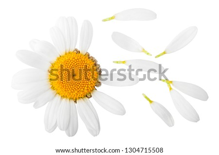 chamomile isolated on white background, clipping path, full depth of field