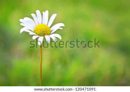 Chamomile on the field with green grass