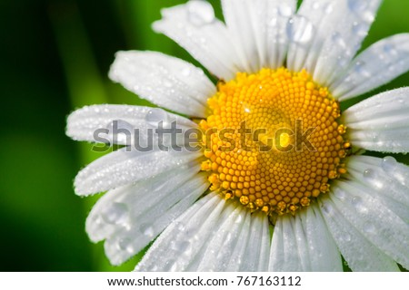 Chamomile or camomile flower with drops of water on the white petals after rain on the green background . Close-up. Macro.