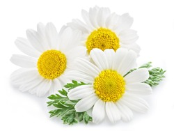 Chamomile or camomile flowers isolated on white background.
