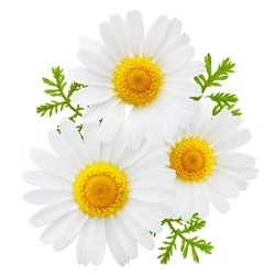 Chamomile or camomile flowers with leaves isolated on white background