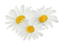 chamomile or daisies isolated on white background with clipping path. Set or collection.