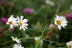 Chamomile pharmacy (otherwise Matricaria chamomilla, chamomile stripped, Camila, blink, blush, maiden flower, romaniei) in the meadow. Macro photography, narrow focus. High quality photo