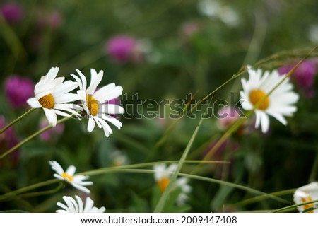 Photo of Chamomile pharmacy (otherwise Matricaria chamomilla, chamomile stripped, Camila, blink, blush, maiden flower, romaniei) in the meadow. Macro photography, narrow focus. High quality photo
