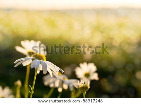 chamomile with warm sunset light