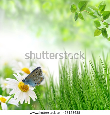 chamomiles and butterfly in the nature