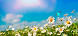 Chamomiles daisies macro in summer spring field on background blue sky with sunshine and a flying butterfly, nature panoramic view. Summer natural landscape with copy space.