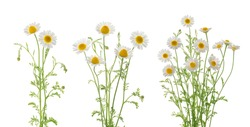 Chamomiles daisy flowers isolated on white background set
