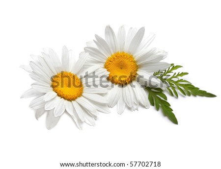 chamomiles with leaf on white - stock photo