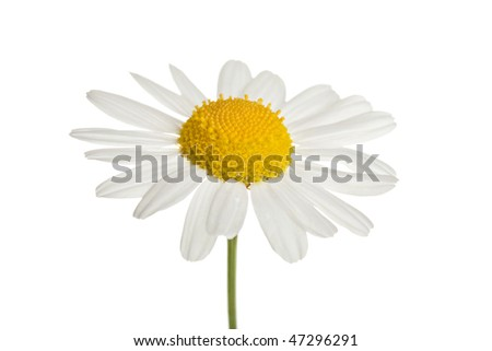 chamomole flower isolated