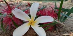 Champa Flower-RajGhat-Morning Phase