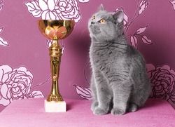 champion british shorthair kitten with a cup