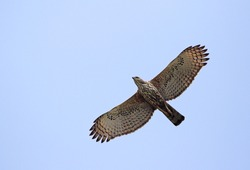 Changeable hawk eagle in flight.The changeable hawk-eagle or crested hawk-eagle (Nisaetus cirrhatus)is a large bird of prey species of the family Accipitridae.