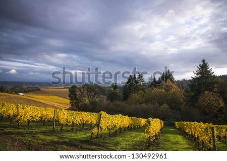 Changing vineyard leaves in fall, Willamette Valley, Oregon