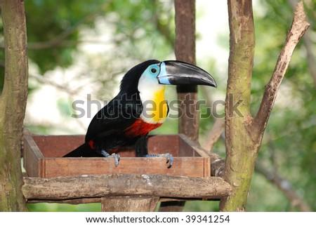 Channel Billed Toucan in