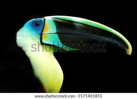 Channel-billed Toucan (Ramphastos vitellinus) bird of Colombia