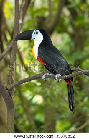 Channel-billed Toucan rest on tree