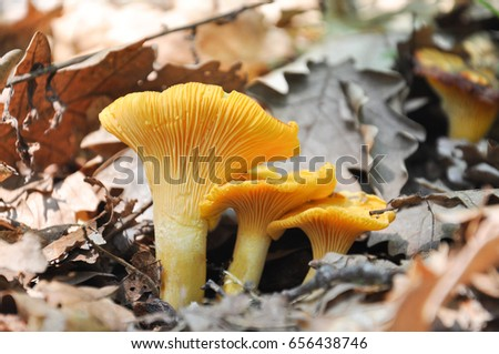 Chanterelle mushroom in the forest, CANTHARELLUS CIBARIUS mushroom grows below leaves in forest. Collecting mushrooms and preparing food.  #656438746