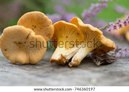 chanterelle mushrooms close up