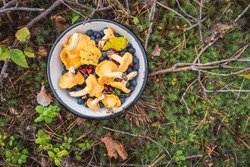 Chanterelles, wild bilberries (blueberries) and lingonberries in a bowl on the moss with fallen pine tree twigs and needles. Wild berries and mushroom foraging in the Nordic forest.