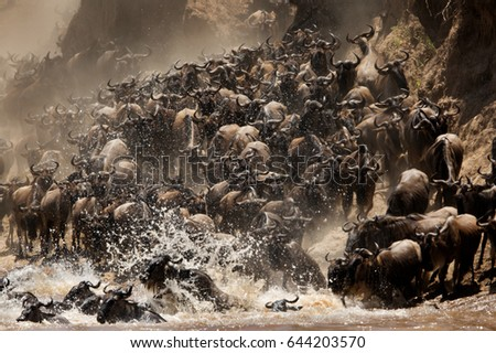 chaos of wildebeests while...