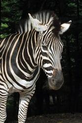 Chapman's zebra (Equus quagga chapmani); adult female portrait