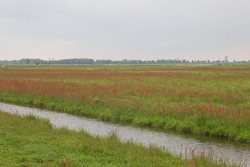 Characteristic dutch polder landscape with canal or ditch in important meadow for waders and meadow birds as Limosa limosa or Black-tailed godwit with high water level and dense vegetation of grasses