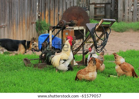 Characteristic rural landscape of Eastern Europe, showing cock, hens and dog. Selective focus on the cock.
