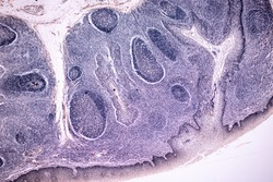 Characteristics of anatomy and Histological sample Striated (Skeletal) muscle of mammal Tissue under the microscope.