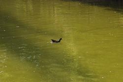 Charcoal gray waterhen in green water